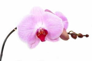 orchid-165218_1280